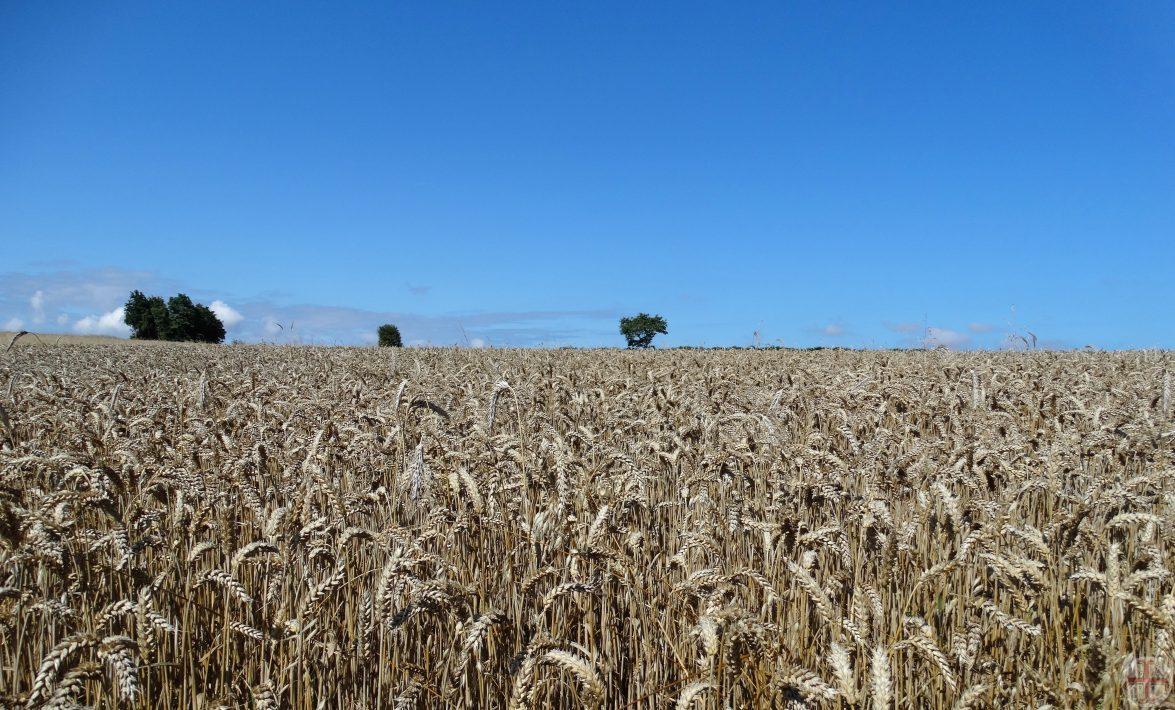 Sfeerbeeld bij bron van geluk: een korenveld met een helderblauwe lucht erboven, voedt geest en lijf