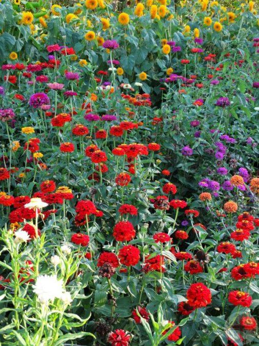 Je ziet een veld met allemaal bloemen, vooral rode