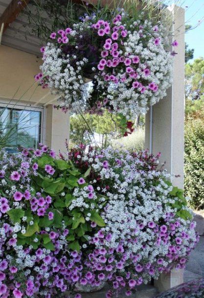 """Afbeelding bij """"Wat is de waarheid?"""": een oase van paarsblauwe petunia's"""