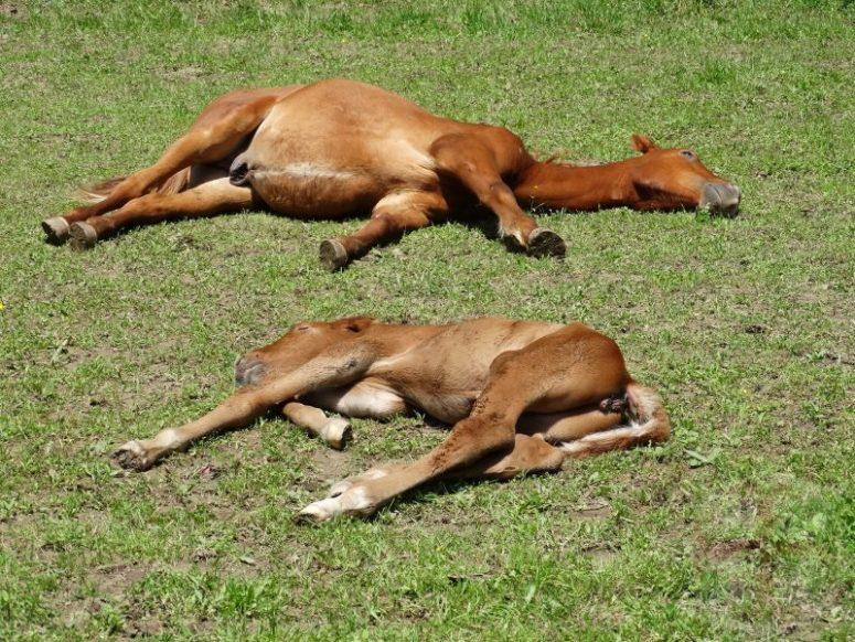 """Foto bij """"Voldoende slaap: van essentieel belang""""; twee veulens slapend in een wei, het jongste veulentje is nog geen dag oud"""