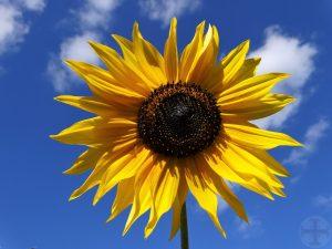 """Afbeelding bij """"Problemen vervangen door oplossingen"""": zonnebloem met als achtergrond blauwe lucht en een paar wolken"""