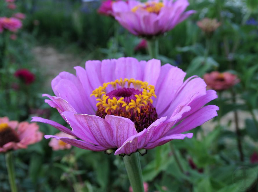 """Afbeelding bij """"Jezelf beter waarnemen"""": een paarse bloem (Zinnia)"""