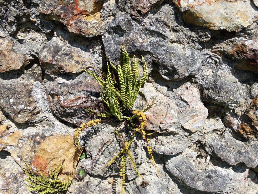"""Afbeelding bij """"Dankbaarheid"""": een varen die is gegroeid tussen stenen"""